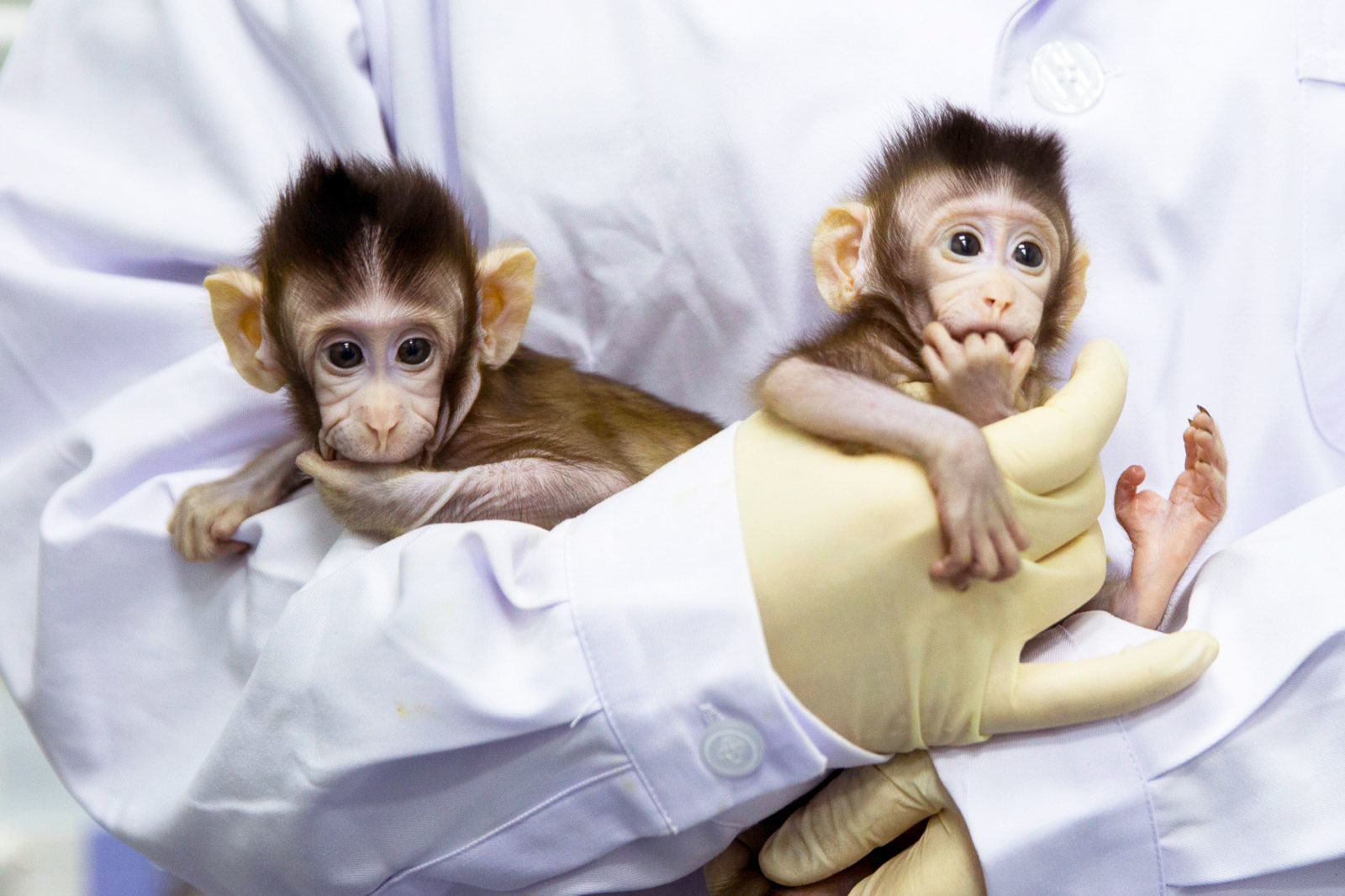 Scientists clone monkeys for the first time It theoretically opens the Pandora's Box of human cloning.